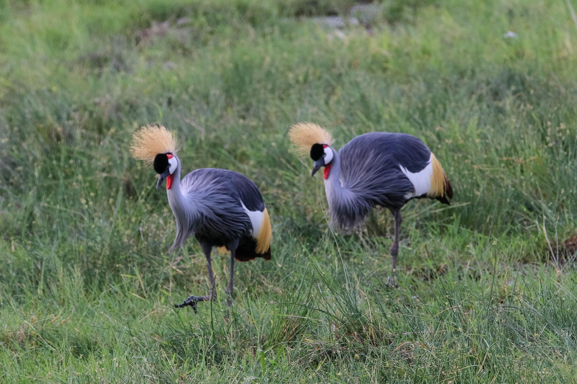 Crowned Crane in Amboseli