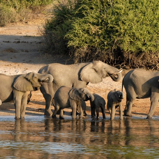 Elephants at Chobe River