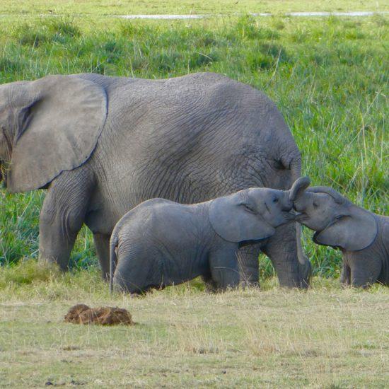Elephants oon safari