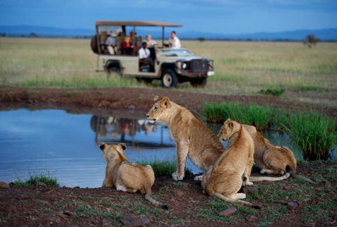Lions on evning game drive