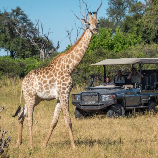Giraffe View By Jeep