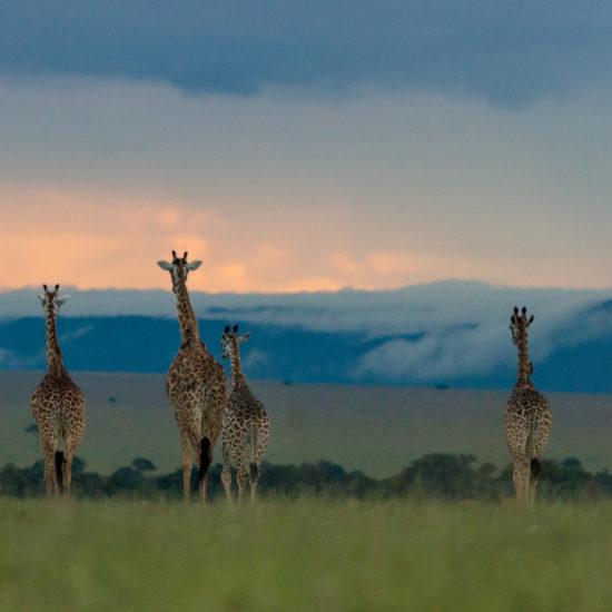 Giraffes in the Mara