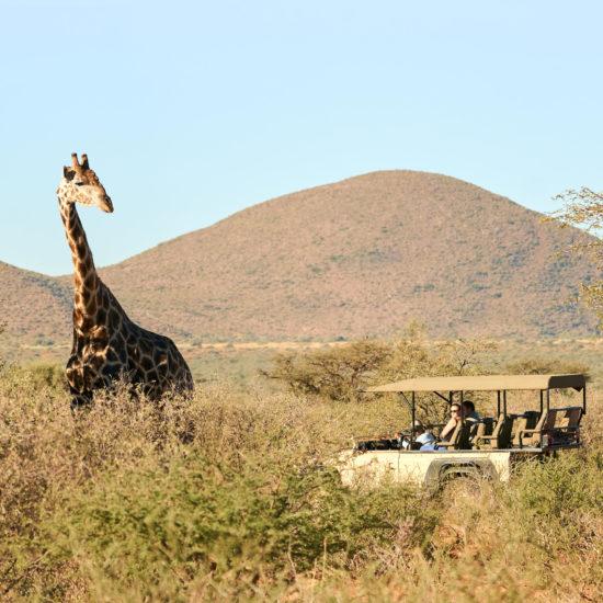 Giraffe and Vehicle