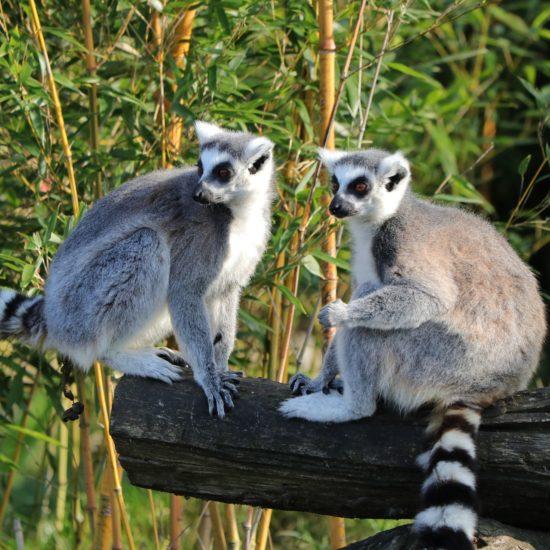 Lemurs on log