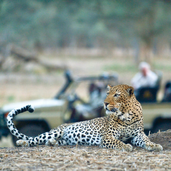 Leopard on Drive