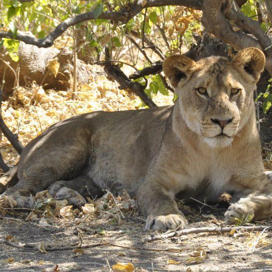 Lioness Chobe
