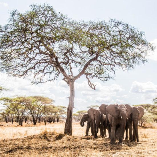 Elephants at Mila Camp