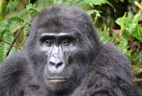 Primate-Gorilla-Rwanda-Pixa