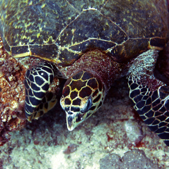 Turtle at Diani Beach