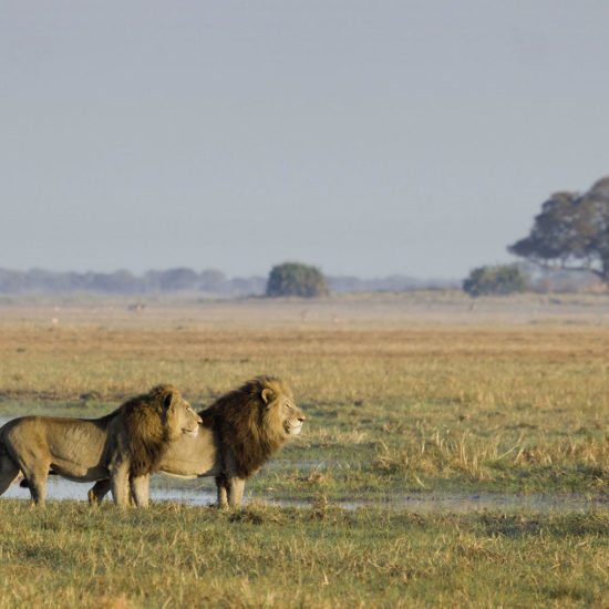 Two male lions in Kafue