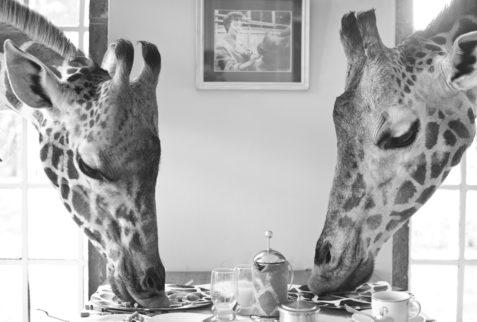 Giraffes eating at the Manor