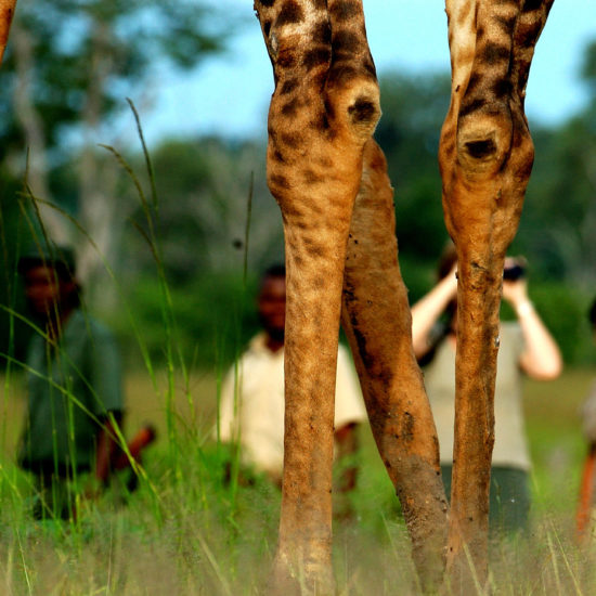 Walking with Giraffe