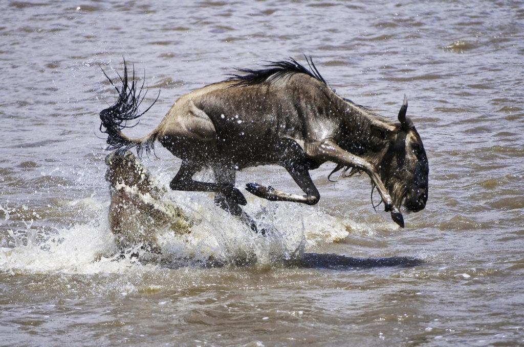 Wildebeeste Crossing River