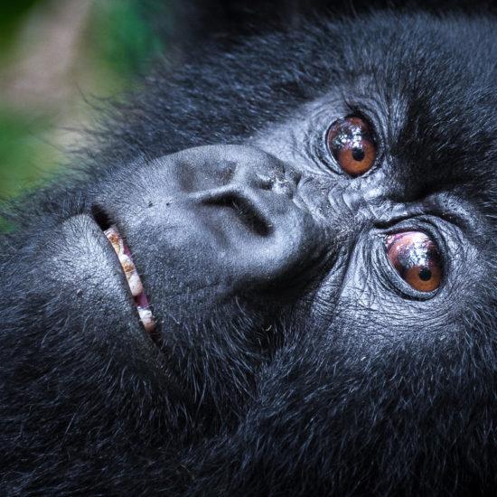 Young gorilla at Bisate