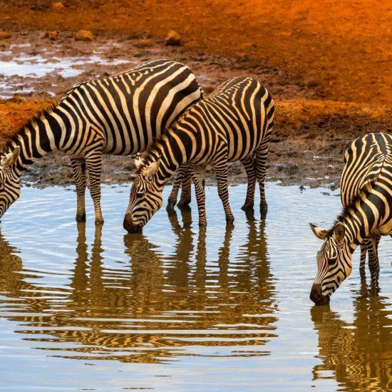 Zebras at Waterhole in Amboseli