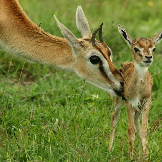 Impala with baby