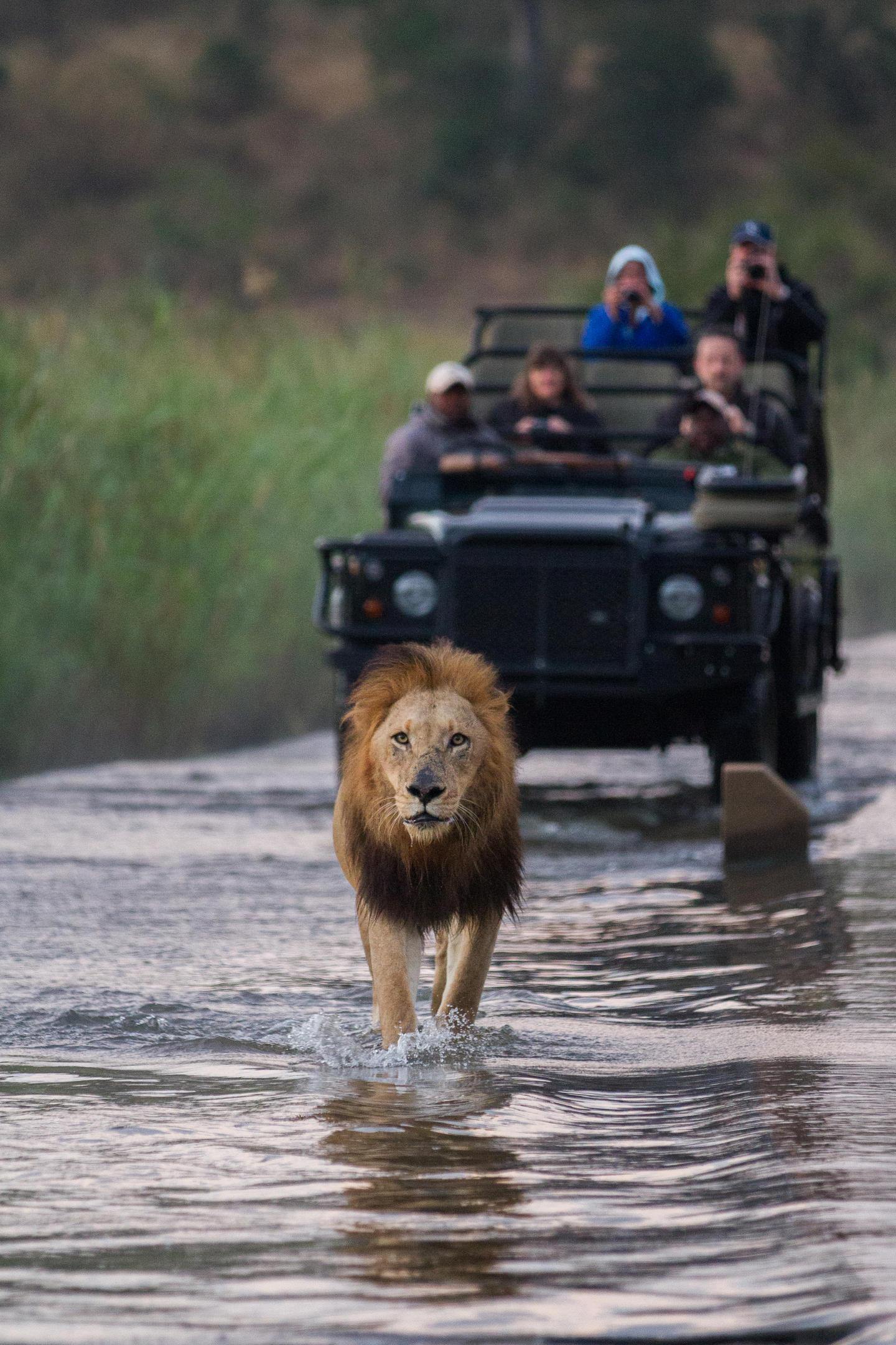 lion walking vehicle