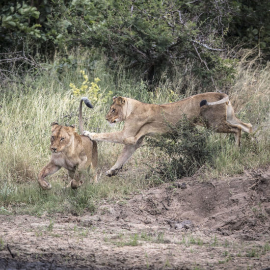 Lions at Karula
