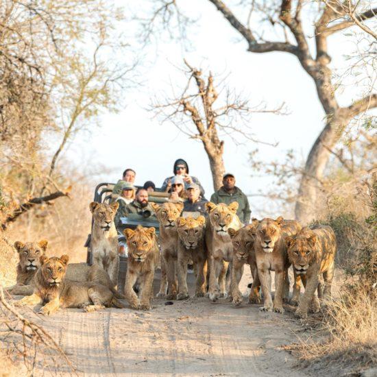 Lions vehcile